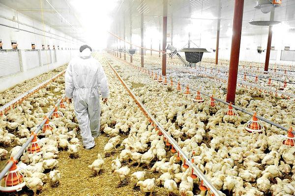 وضعیت صنعت تولید مرغ در ایران