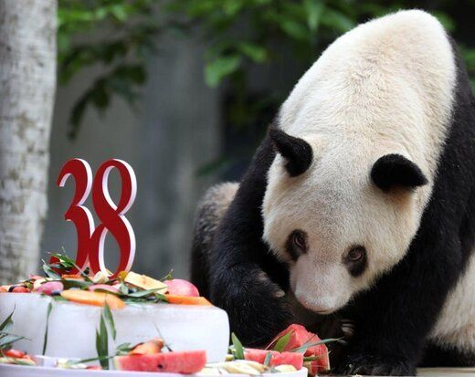جشن 38 سالگی پیرترین پاندای اسیر جهان