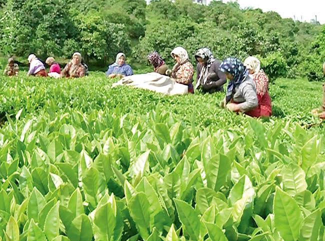 راهاندازی آزمایشگاه مرجع برنج چای و زیتون در گیلان