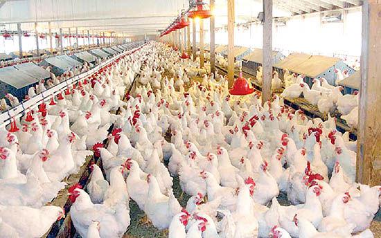 قیمت ۱۵هزار تومانی مرغ پاسخگوی هزینههای تولید نیست