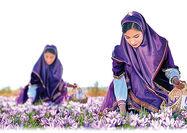 خرید تضمینی زعفران کیلویی 11 تا 13 میلیون تومان