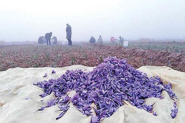 نرخ ثابت زعفران با افزایش تولید