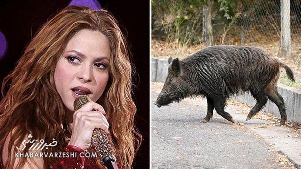 حمله خوکها به شکیرا خواننده معروف کلمبیایی !