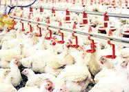 برنامههای کوتاه و بلندمدت تولید گوشت مرغ در ایران