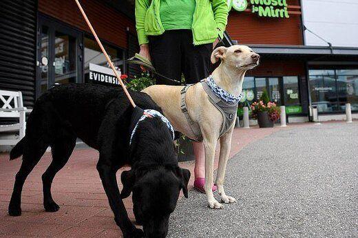 سگها بهتر از آزمایشهای تخصصی بیماران کرونا را شناسایی میکنند