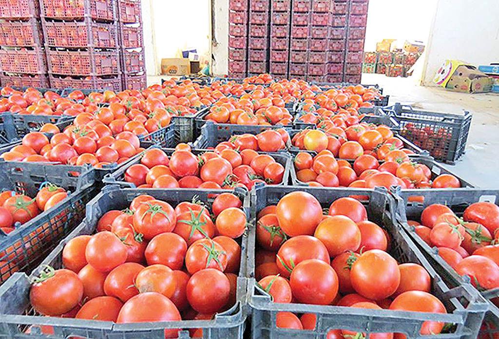 آغاز توزیع گوجه فرنگی در میادین میوه و ترهبار