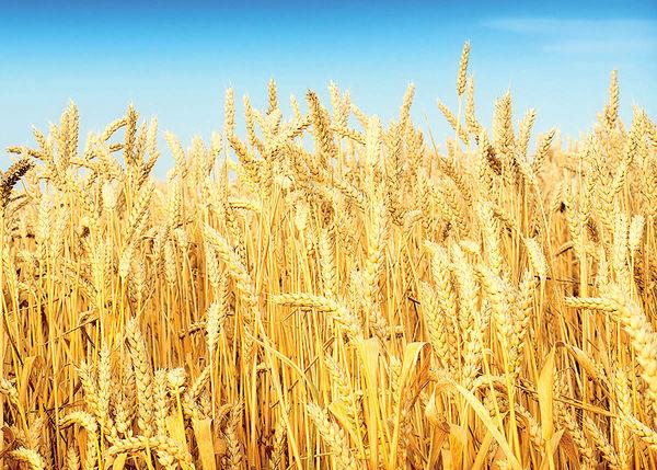 افزایش واردات گندم