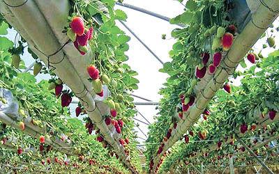کشت دائمی توتفرنگی در کردستان