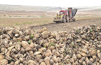 آزمایش 6000 نمونه بذر چغندر در کرج