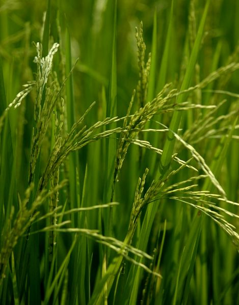 نکاتی برای خرید برنج