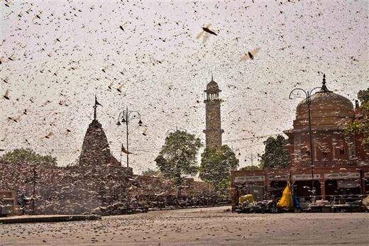 حمله میلیونی ملخها به شهر جای پور در منطقه راجستان هند