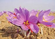 تولید کاغذ از گلبرگ زعفران