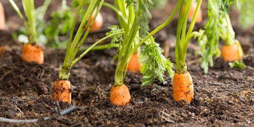 هویج بیش از 70 درصد گران شد!