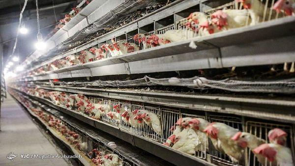 قیمت هر کیلو مرغ به کانال 19هزار تومان رسید