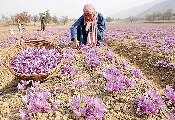 سهم ایرانیها از زعفران و پسته نصف شد