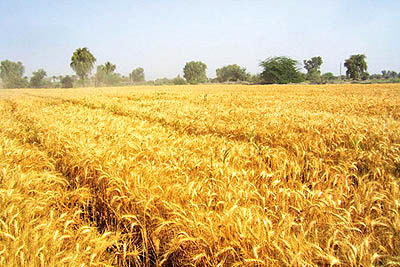 خرید 9 میلیون تن گندم دیم و آبی از کشاورزان