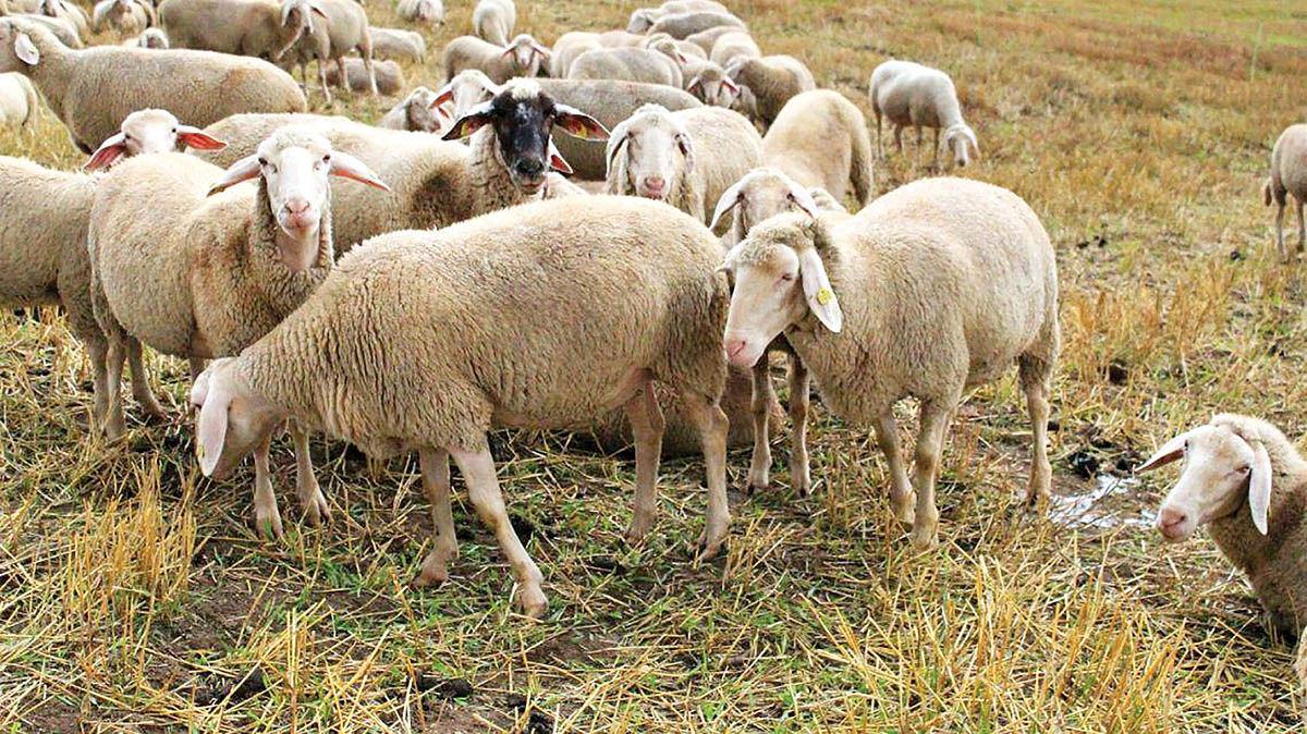 چرای گوسفندان در مزارع سبز!
