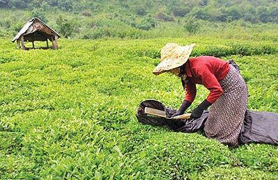 تغییر شیوه خرید برگ سبز چای