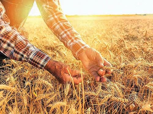 ایران در سال 97 هم در زمینه تولید گندم خودکفا میشود
