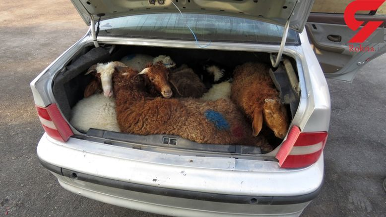 عکس باورنکردنی ۱۳ گوسفند جاسازی شده داخل یک سمند