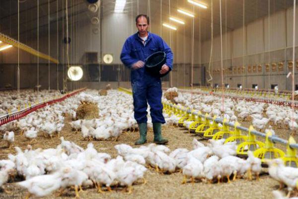 دادن تریاک به مرغها صحت دارد؟