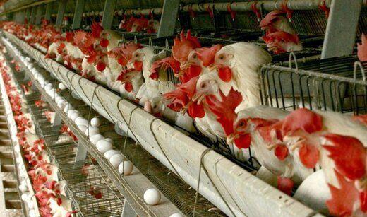 مرغ دوباره گران میشود؟