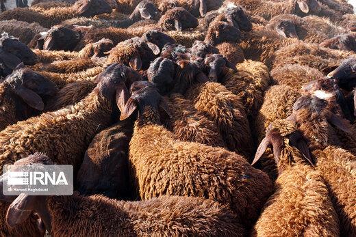 مشکلی در تامین گوشت قرمز مورد نیاز کشور وجود ندارد