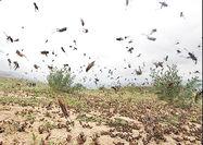 مبارزه با هجوم ملخ صحرایی در سطح ۱۱۹ هکتار از اراضی دو استان