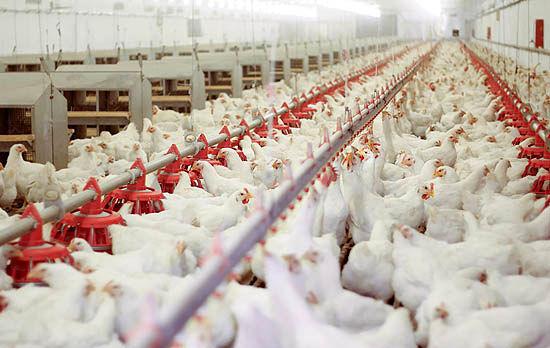 اختلافنظر تشکلهای مرتبط با صنعت مرغ