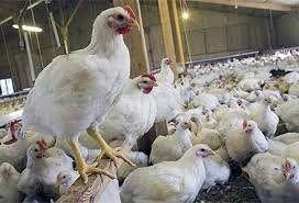 تنها راه کاهش قیمت مرغ