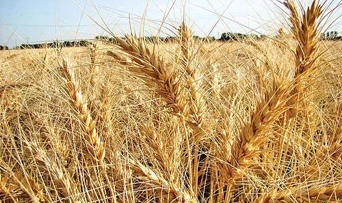 واردات گندم اشتباه است
