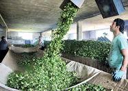 بازار داخلی، در صدر تقاضای چای ایرانی