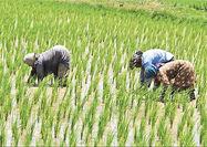 حال و روز واردات و کشت برنج