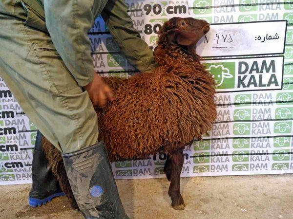 دامکالا، راحت ترین راه برای خرید گوسفند زنده